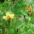 コスモスのお花に紋白蝶さん