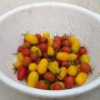 10月にミニトマト