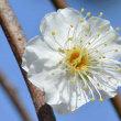 鉢植えの花梅 2018(11)~ 白花2鉢
