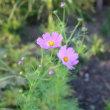 菊の花 2