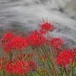 川沿いの彼岸花