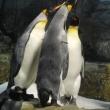 王様ペンギン行動観察1