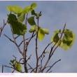 ハクウンボク 〈白雲木〉 季節外れの開花