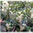 秋から冬にかけての花(^^♪甘い香りの純白の花 「ヒイラギモクセイ(柊木犀)」
