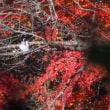 早戸川林道の紅葉狩り