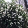 白い木の花