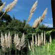 コスモス&ひまわり狩り 横須賀市久里浜 くりはま花の国(11)ムラサキバレンギク、パンパスグラス
