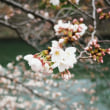 ダッシュ!桜