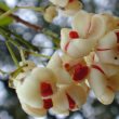 花のように見えるマユミの実