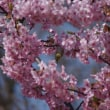 今晩はメジロさんと🌸桜