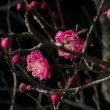 我が家の白梅の小枝のメジロと紅梅の咲き始め