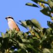 11/18探鳥記録写真-2(はまゆう公園の鳥たち:ジョウビタキ、モズ、ホオジロ、カワラヒワ)