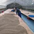 色麻町の特産物「えごま」の収穫が始まりました