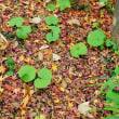 カンツバキと落ち葉(赤塚植物園)