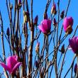 『季節の花』 紫木蓮