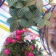 ハンサムペペロミアくん、ピンクの可愛いクラフトバッグなど、カニ付きのホテルバイキング🐡🍴