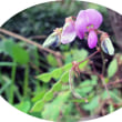 在来種のヌスビトハギとコスモポリタンのアレチヌスビトハギ