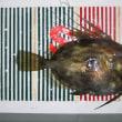 京都:宮津のアコウ釣り