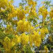 ソンクランの花