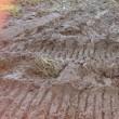 泥田のなかで稲刈り