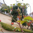 今朝の庭仕事*冬のバラ