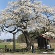 2764)桜in雫石(弘法桜)