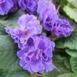 ペチコート・ブルージーンズの花は