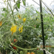 夏野菜トマトも終焉