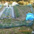 夏野菜の畝の準備 チップをもらってきて耕しました 畑全景
