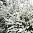 雪やなぎ満開
