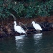 12/14探鳥記録写真-2(頓田貯水池の鳥たち:ミサゴ、カンムリカイツブリ、オシドリほか)