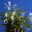 富貴蘭「金兜」の花