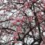 春雷と激しい雨と風に負けず咲き誇っている梅