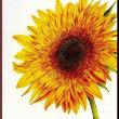 色鉛筆画371 (向日葵)