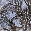 冬木立 尾根の ミズナラ には