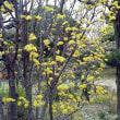 季題 山茱萸の花
