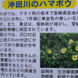 延岡市・沖田川の ハマボウ ~ 2018年7月中旬 既に 終盤期でした。