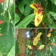 ツンベルギア・マイソレンシスの花は