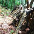 山一面が椎茸の森って どんなもの?