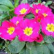 季節の花「プリムラ」