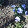 路上でスミレの可愛い~ 花をみかけたよ・