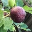 早くも実りの秋❓ アケビにイチヂク‼️街中でも収穫できるなんて⁉️