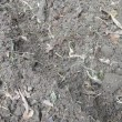 ラッキョウ植える