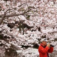 プラウダの記事 花見(桜)・・・モスクワはまだ、雪の下に埋もれているが、東京は春です