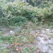 知床半島、河口に咲く白い花