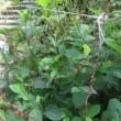 明月院 華やぐ秋海棠と藪蘭
