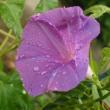 雨の中 夏水仙