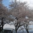 神通川べりと 呉羽山の桜