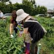 7月8日収穫体験 トマト、ピーマン、枝豆などの収穫