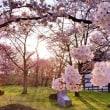 少しだけ桜